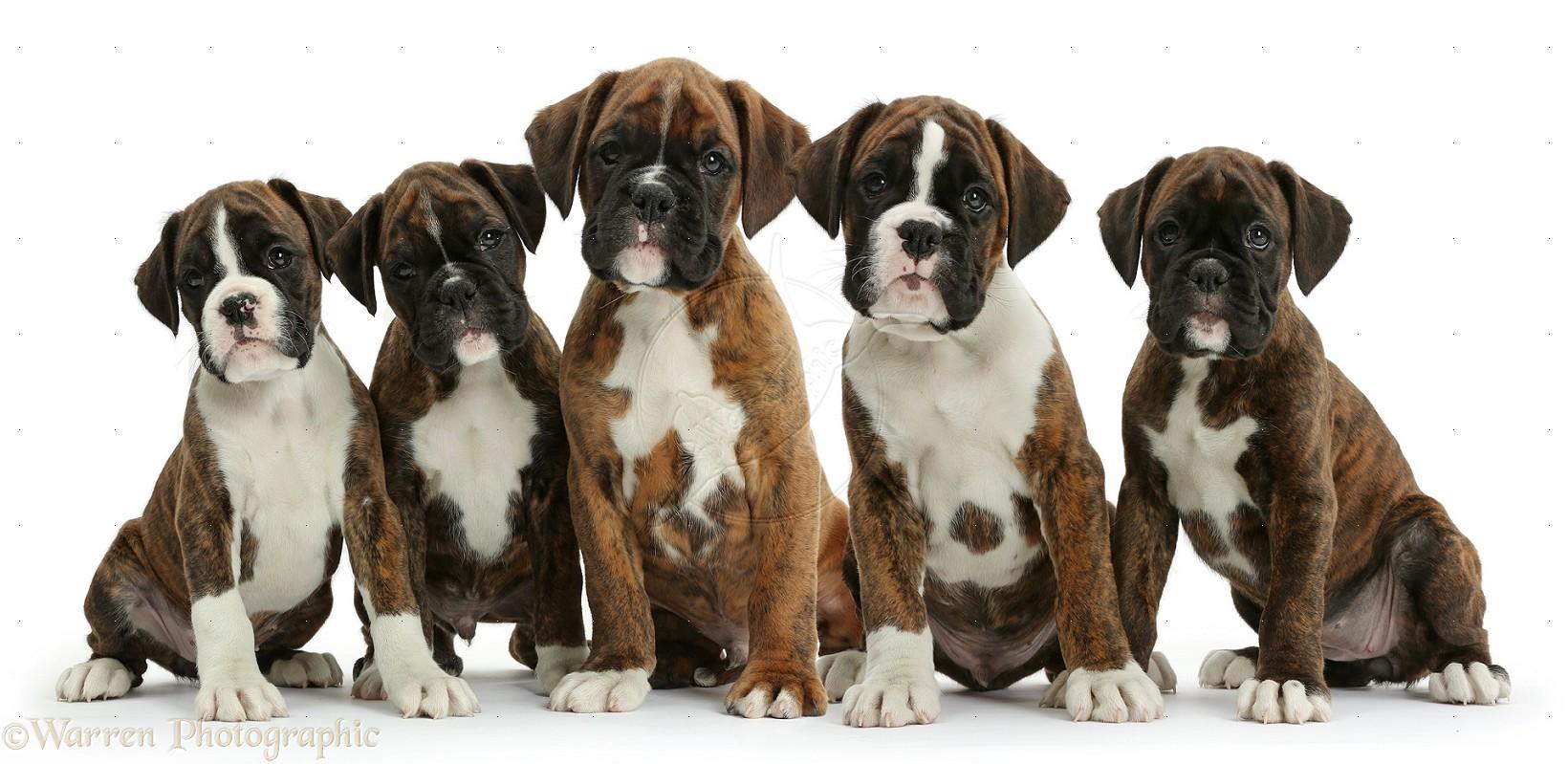 Five Boxer puppies, 8 weeks old